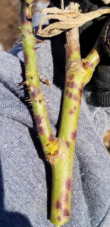 rose stem cankers