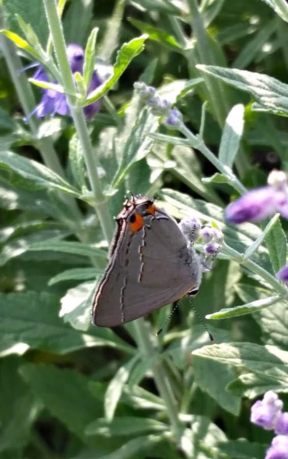 Gray hairstreak butterfly on lavender
