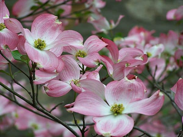 Plant of the Week: Pink Flowering Dogwood