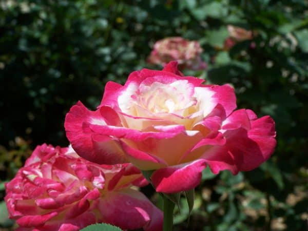 Caring for Roses