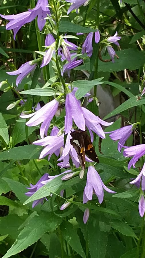 Silver spotted skipper on creeping bellflower