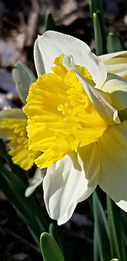 yellow and white daffodil blooming