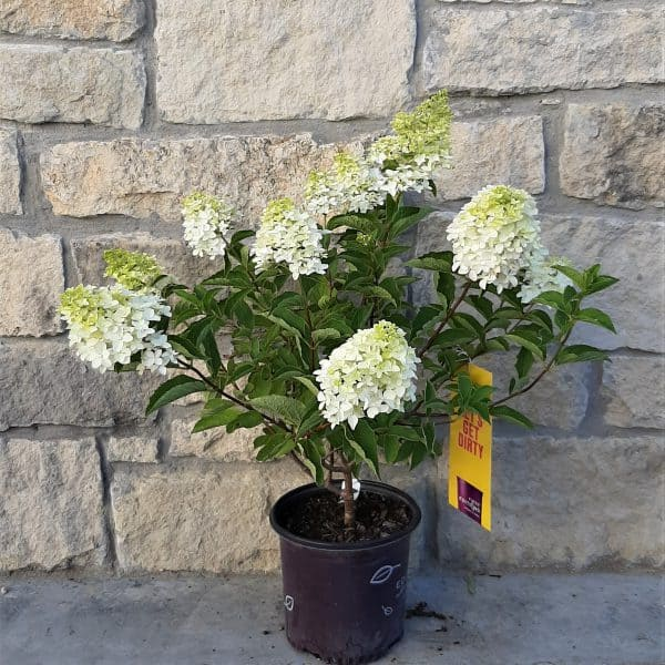 Berry White hydrangea with green and white blooms in 1 gallon pot