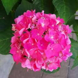medium pink summer crush hydrangea bloom