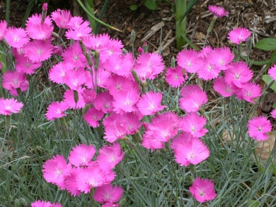 Plant of the Week: Dianthus Firewitch