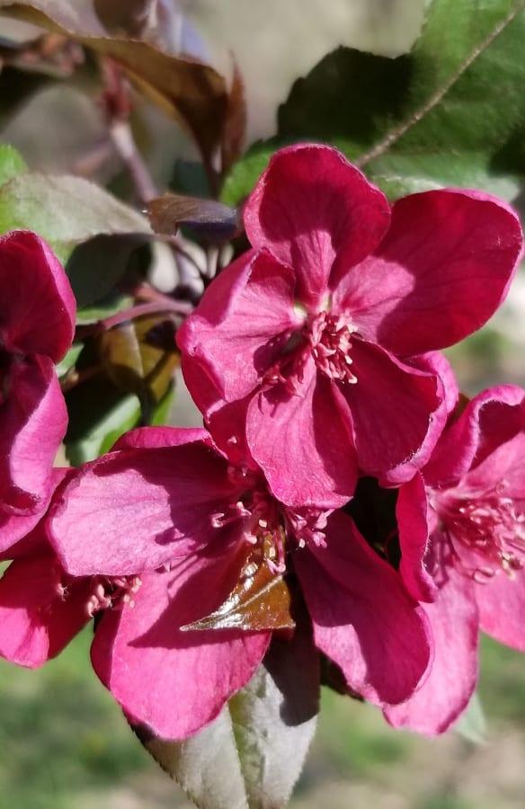 Prairie Fire Crabapple blooms