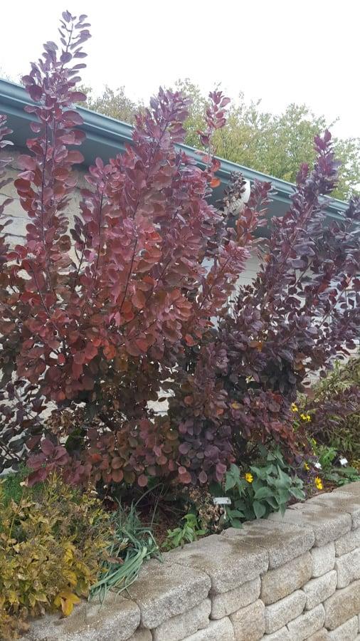 Smokebush at Grimm's Gardens