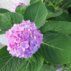close up of light pink purple nantucket hydrangea bloom