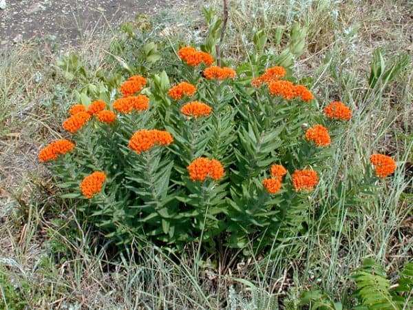 Plant of the Week: Butterfly Milkweed