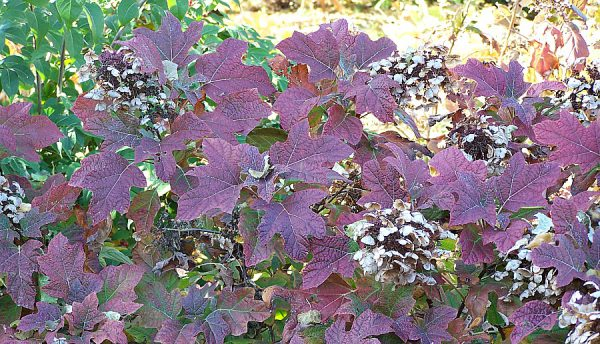 Plant of the Week: Alice Oakleaf Hydrangea