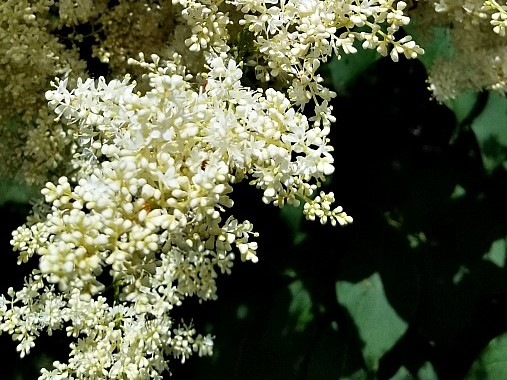 Plant of the Week: Ivory Silk Tree Lilac