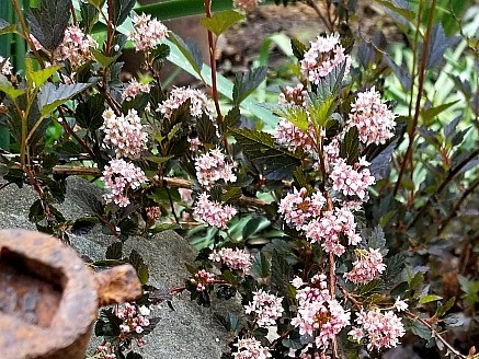 Superb Shrubs: Ninebarks