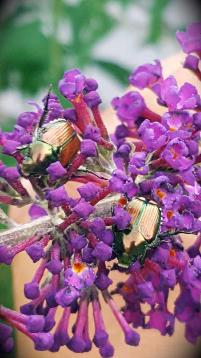 Japanese beetles on butterfly bush