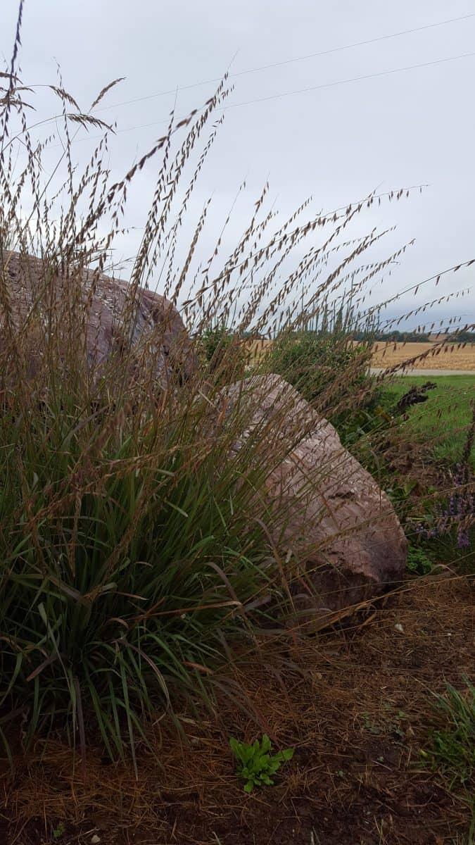 Sideoats Grama grass