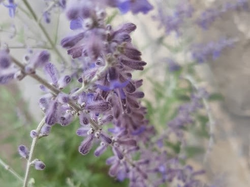 Plant of the Week: Denim 'N Lace Russian Sage