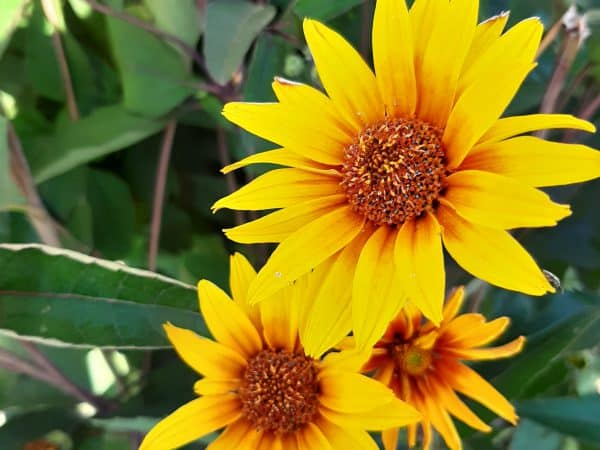 Plant of the Week: False Sunflower