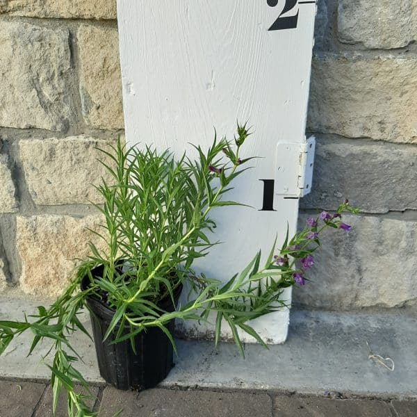 'pike's peak' purple beardtongue plant in black pot in front of measuring stick, foliage 12 inches long