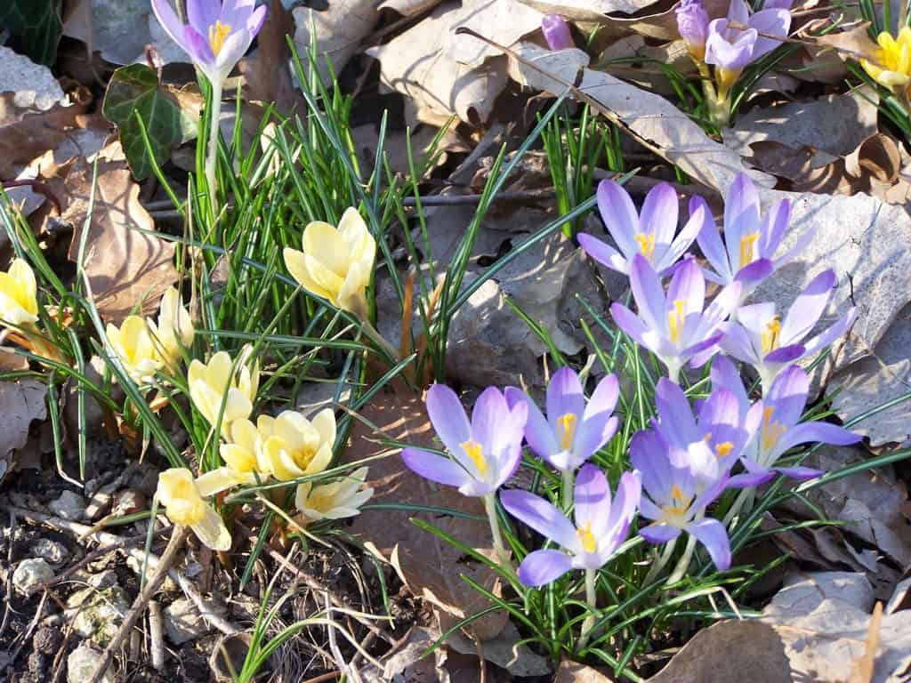 Crocus for naturalizing