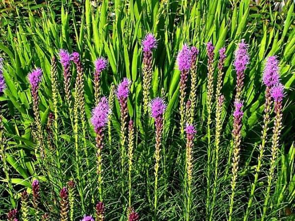Plant of the Week: Liatris 'Kobold'