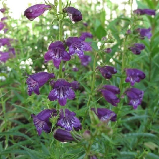 close up picture of blue-purple bell shaped blossoms on the stem of 'pike's peak' purple beardtongue plant