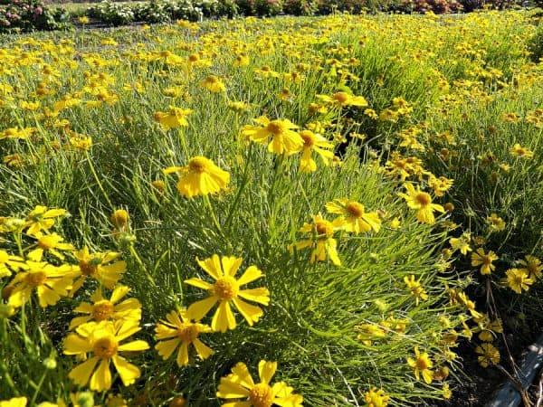 Plant of the Week: Helenium Dakota Gold