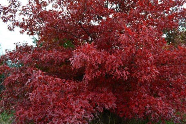 Oak Tree Problems: Kermes Scale
