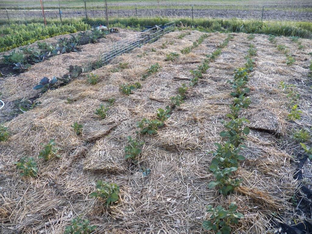 A neatly spaced vegetable garden