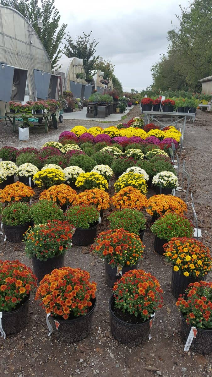mums at Grimm's Gardens