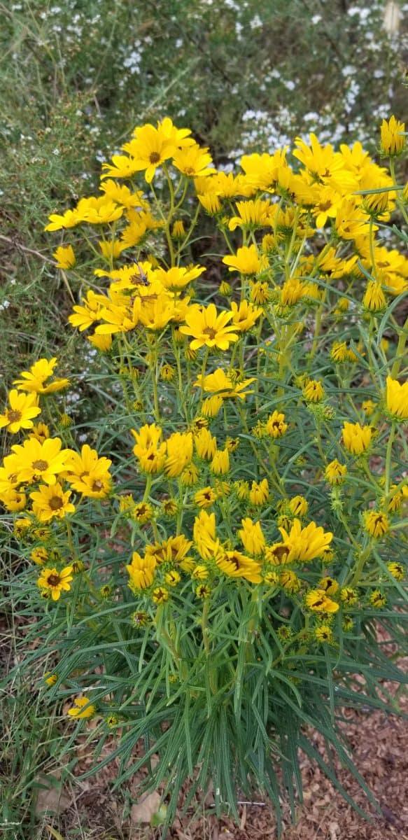 willowleaf sunflower 'First Light'