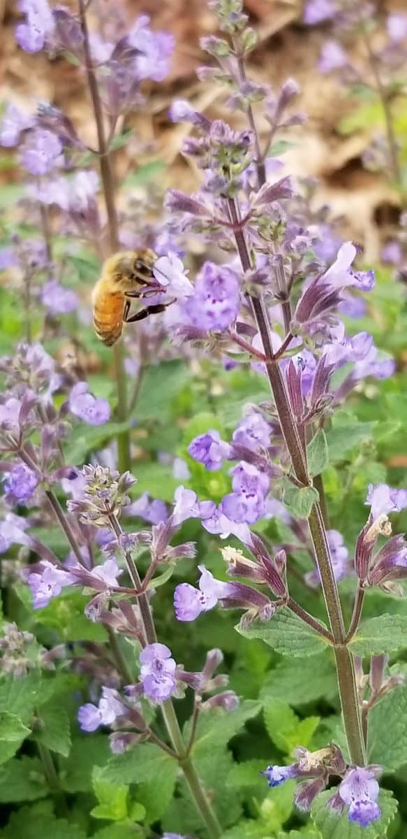 honeybee on catmint