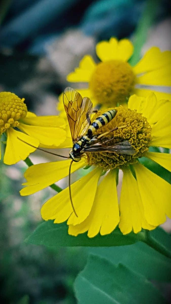 Parasitoid wasp on helenium