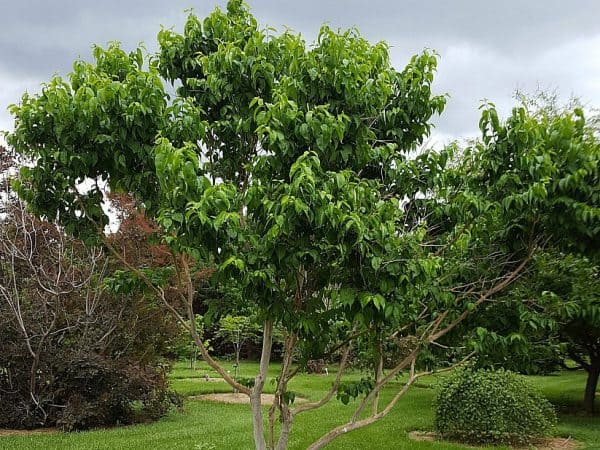 Plant of the Week: Seven Son Tree