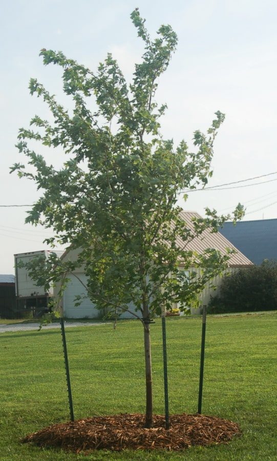 3 T-posts are best for a larger tree plantings