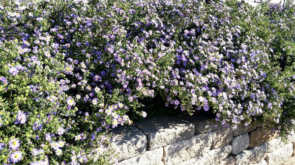 Plant of the Week: Aromatic Aster
