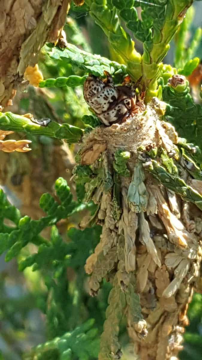 bagworm feeding