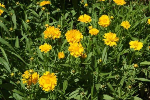 Early Sunrise Coreopsis – Gallon Container