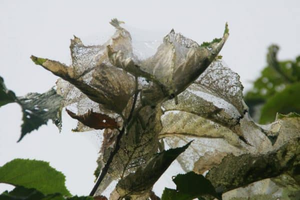 The Care of Trees – Major Insect Pests of Trees
