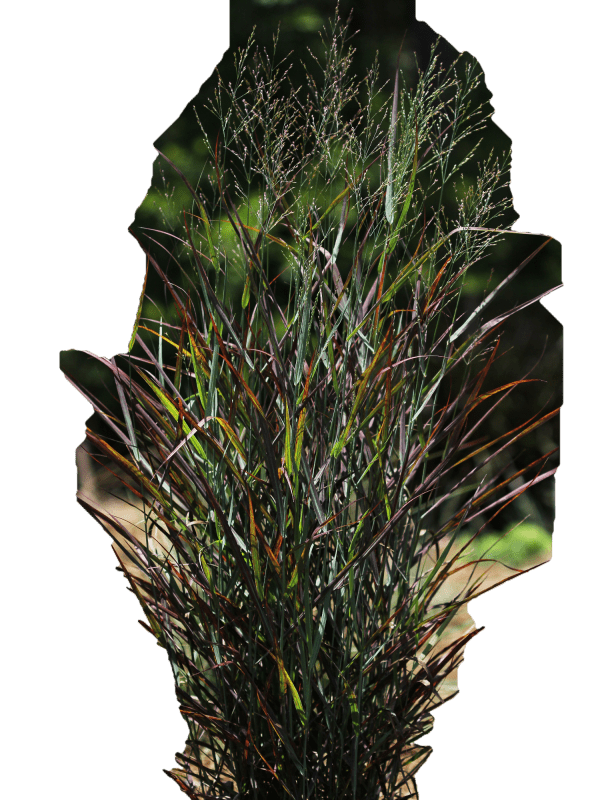 Hot Rod Switchgrass – 3 Gallon Container