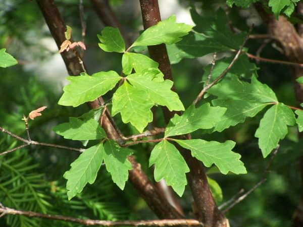 Plant of the Week: Paperbark Maple