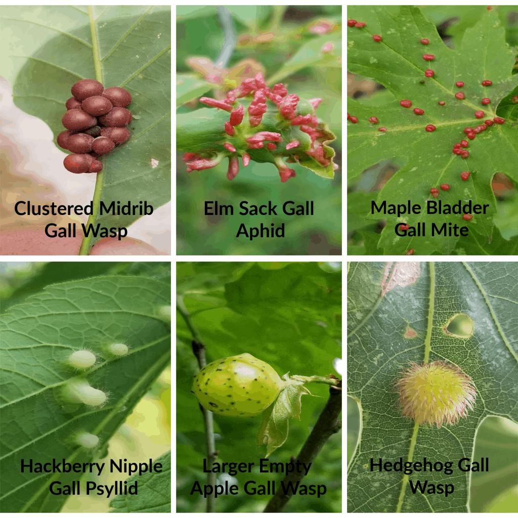 Oak tree galls