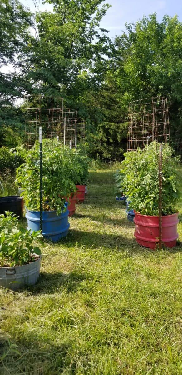 tomato tub garden