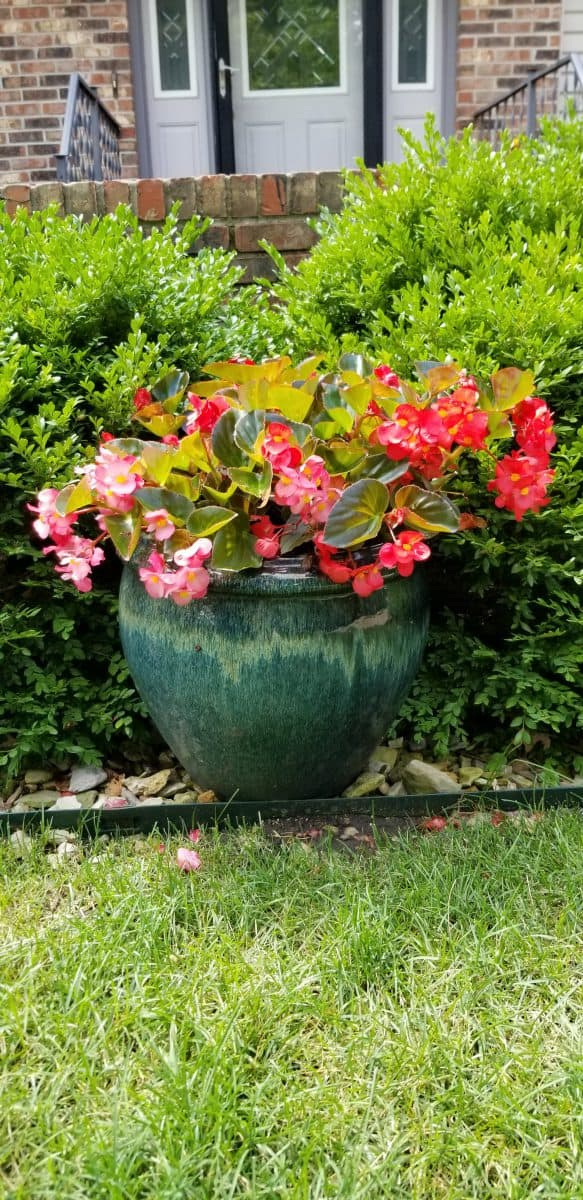 begonias are great annuals