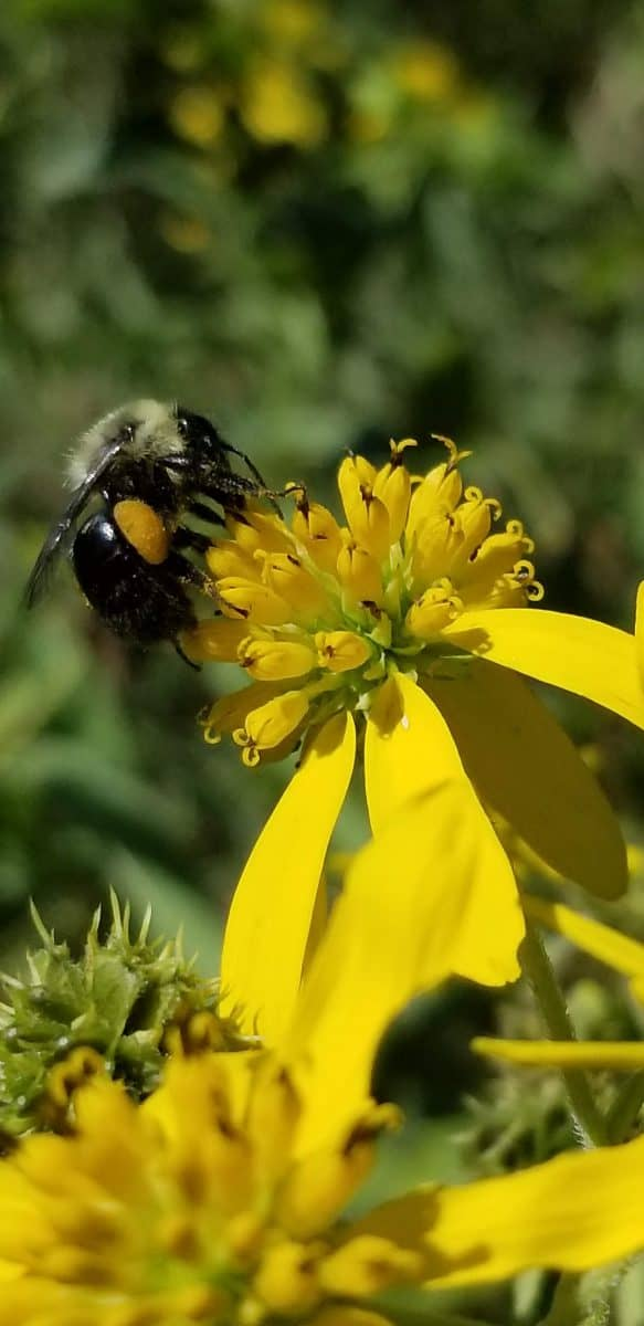 bumblebee on wingstem