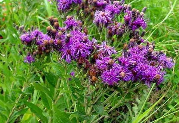 Plant of the Week: Western Ironweed