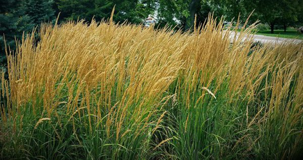 Plant of the Week: Karl Foerster Grass