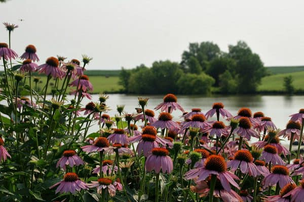 Plant of the Week: Purple Coneflower