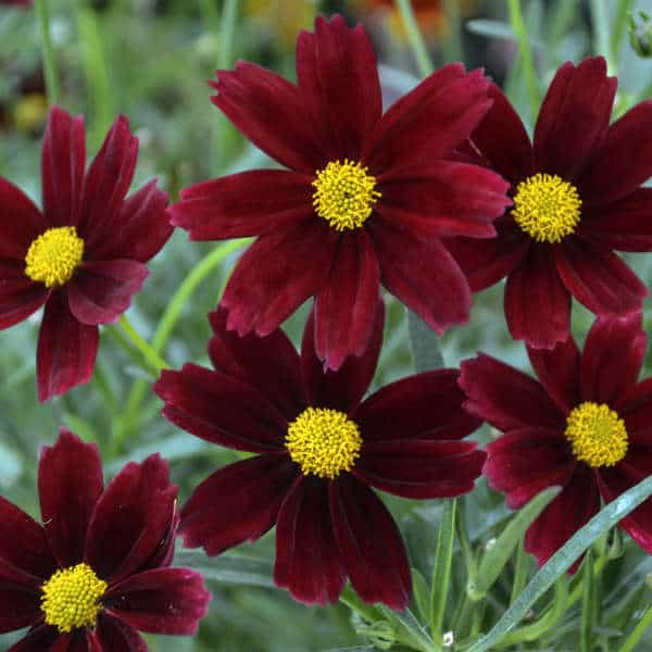 Red Elf Coreopsis – Gallon Container