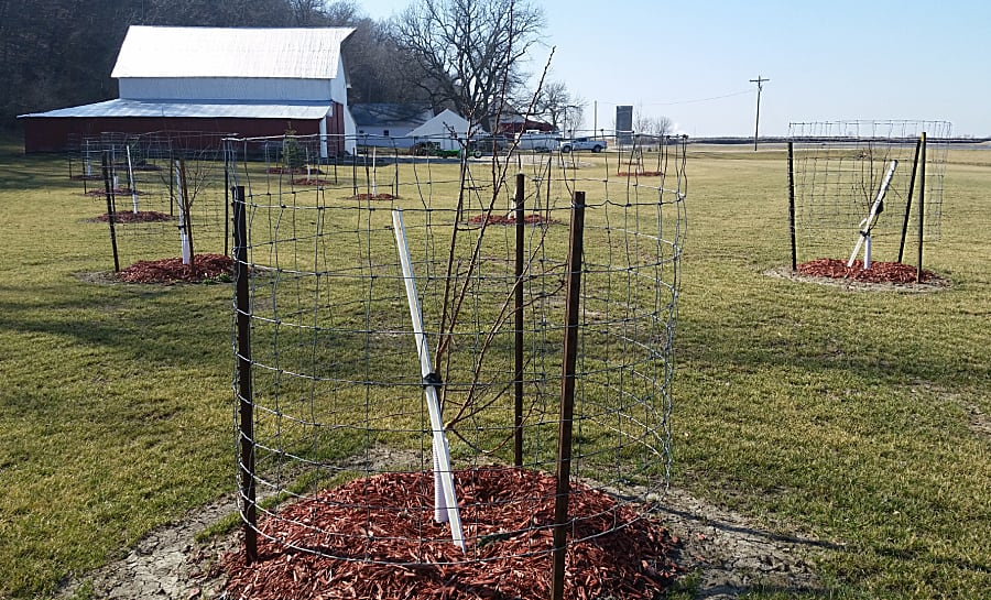 fruit trees staked and protected with cages
