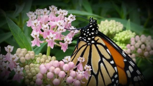 Milkweed – July Plant of the Month
