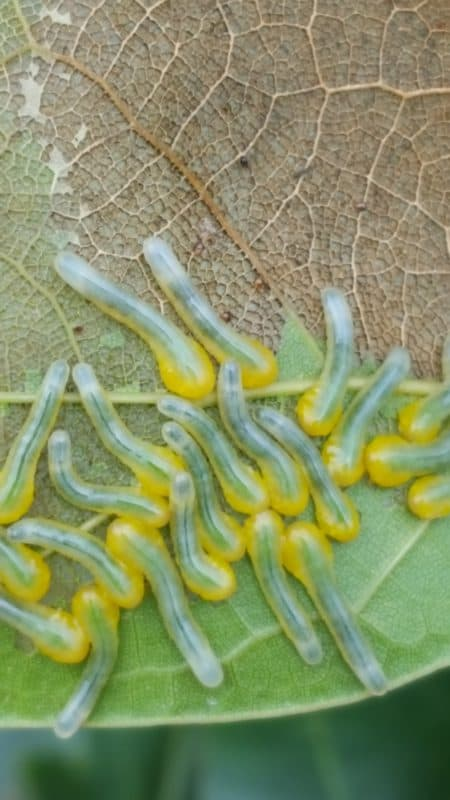 A Guide to Growing Oaks: Pests & Diseases
